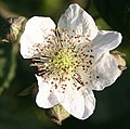 Blackberry flower - geograph.org.uk - 836576.jpg