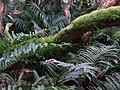 Blechnum type ferns, Mount Gower summit.jpg