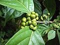 Blepharistemma serratum fruits at Periya 2014.jpg