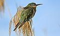 Blue-cheeked bee-eater, Merops persicus, Chobe National Park, Botswana (31674610663).jpg