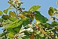 Blue-crowned Parakeets (Aratinga acuticaudata) eating fruits ... (29073344950).jpg