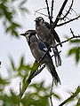 Blue Jay and Juvi (7627421396).jpg