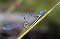 Blue damselflies mating.jpg