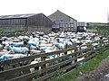 Blue sheep at Bordley - geograph.org.uk - 471723.jpg