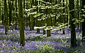 Bluebells and beech woods at Wepham woods - geograph.org.uk - 1277674.jpg