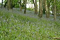 Bluebells near Treworgey - geograph.org.uk - 1471055.jpg