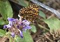 Boloria dia - Violet Fritillary 3.jpg