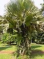 Borassus Aethiopum Fruilles.jpg