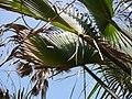 Borassus aethiopum 0021.jpg