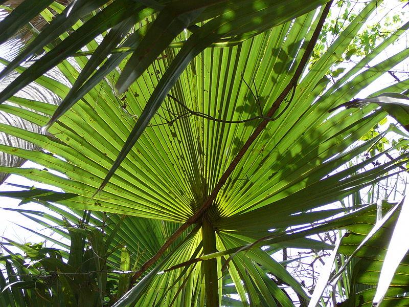 File:Borassus aethiopum 0033.jpg