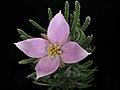 Boronia subulifolia.jpg