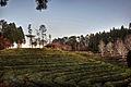 Boseong Tea Fields (6634366911).jpg