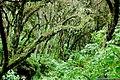 Bosque de Pino Podocarpus parlatorei en Catamarca, Argentina.JPG