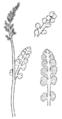 Botrychium minganense drawing.png