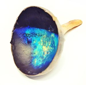 Tapetum lucidum - The  dark blue, teal, and gold tapetum lucidum from the eye of a cow.