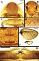Brachylatindia xui (10.3897-zookeys.867.35991) Figure 2.jpg