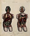 Brain and viscera; two figures showing a dissected torso, wi Wellcome V0008008.jpg