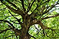 Branches of a Tamarind tree.jpg