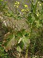 Brassica rupestris.jpg