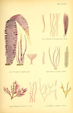 "British sea-weeds - drawn from Professor Harvey's ""Phycologia Britannica"" (1872) (20410175122).jpg"