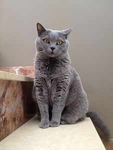 British Shorthair Wikipedia