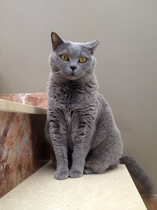 British shorthair blue Irina AEA