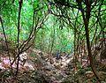 Brookesia micra habitat.jpg