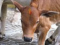 Brownie calf.jpg