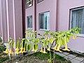 Brugmansia aurea flower.jpg