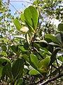 Buchenavia tetraphylla - Flickr - Tarciso Leão (5).jpg