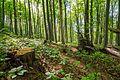 Buchenwald mit Totholz im Naturschutzgebiet 'Alter Gleisberg' bei Jena.jpg