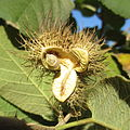 Buchnerodendron lasiocalyx - dry capsule (8685833070).jpg