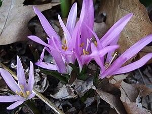 Colchicum bulbocodium - Image: Bulbocodium