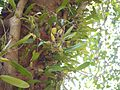 Bulbophyllum rosemarianum Sath.Kumar, P.C.S.Kumar & Saleem (6673863019).jpg