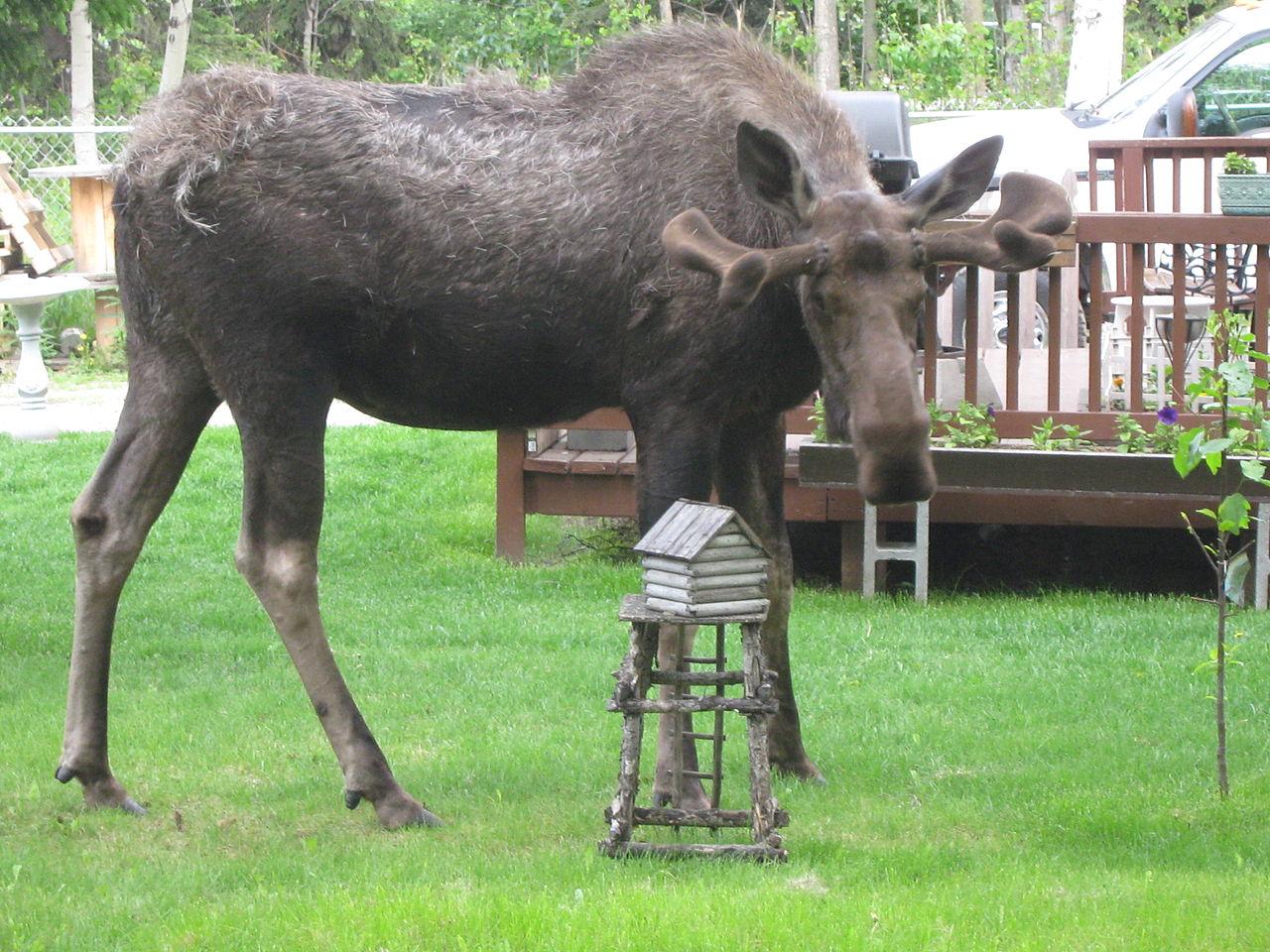 filebull moose growing new antlers and shedding furjpg