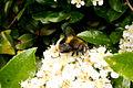 Bumblebee mimic (8184732301).jpg