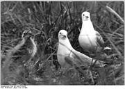 Bundesarchiv Bild 183-1985-0724-004, Langenwerder, Seevögel.jpg