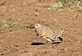 Burchell's sandgrouse, Pterocles burchelli, at Mapungubwe National Park, Limpopo, South Africa (17791062728).jpg