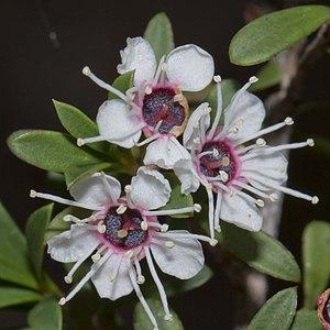 Kunzea ericoides - Kunzea ericoides flowers on a plant growing near the White Rock River