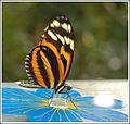 Butterfly II (5482262746).jpg