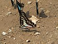Butterfly mud-puddling at Kottiyoor Wildlife Sanctuary (30).jpg