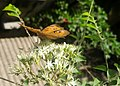 Butterfly on kadipatta flowers.jpg