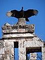 Buzzard Strikes a Pose - Kabah Archaeological Site - Merida - Mexico.jpg