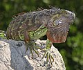 COMMON GREEN IGUANA (Iguana iguana)(3-8-13) key west, monroe co, fl - (6) (8608324980).jpg