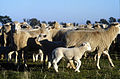 CSIRO ScienceImage 1947 Sheep.jpg