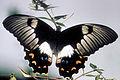 CSIRO ScienceImage 2925 Large Cirtus ButterflyOrchard Butterfly.jpg