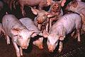 CSIRO ScienceImage 308 Pigs.jpg