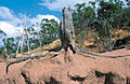 CSIRO ScienceImage 4387 Tree stump with exposed roots as a result of dryland salinity and gully erosion near Charters Towers QLD.jpg