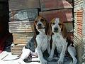 Cachorros beagle de 3 meses.jpg