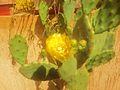 Cactus Flower Boualam viewfinde.jpg